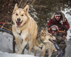 dogs-leading-sled