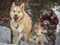 dogs-sled-feature